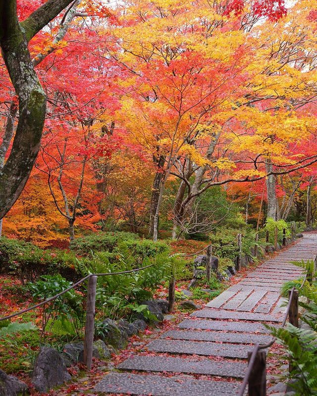 ・ [See the beautiful gradient of autumn leaves @ Hokyo-in Temple in Sagano, Kyoto...