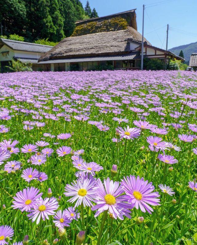 ・ [A Blooming Summer tradition in the Kuta area of Sakyo Ward Kyoto, Kitayama Yuz...