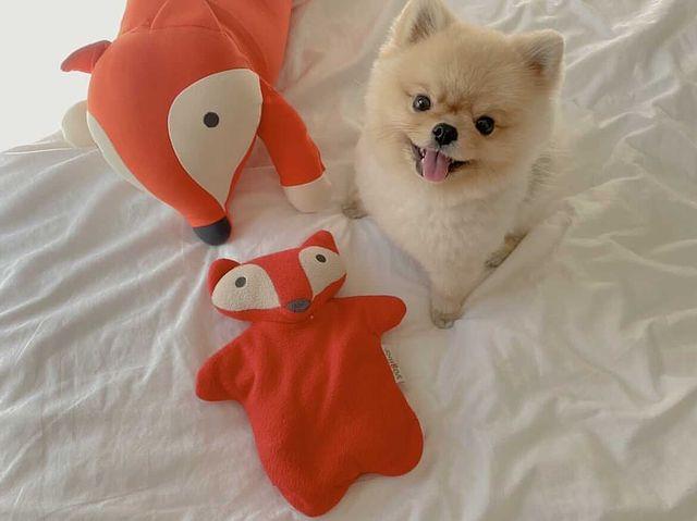 可愛的博美犬+我們的動物系列 實在太可愛了😍😍 #好家在我在家 #防疫達人 #防疫生活 #防疫英雄 #yogibo #yogibotaiwan #懶骨頭 #懶...