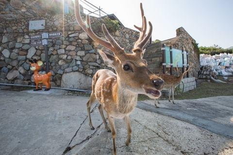 這幾隻可愛的梅花鹿 是不是俏皮的讓人融化啊? 趁著風和日麗的春天 不如就搭乘船隻前往大坵島 尋找島上的這些小可愛吧~~ 環繞大坵島的山坡走一圈 除了成群的梅花...