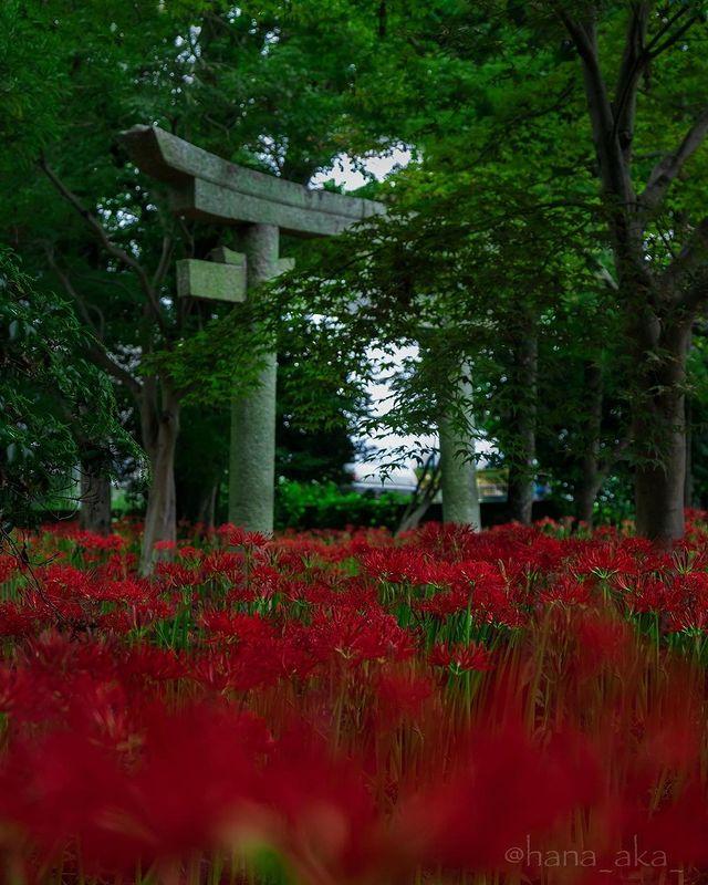 ・ [A famous place to see Cluster Amaryllis @ Wakamiya Hachimangu Shrine in Yawata...