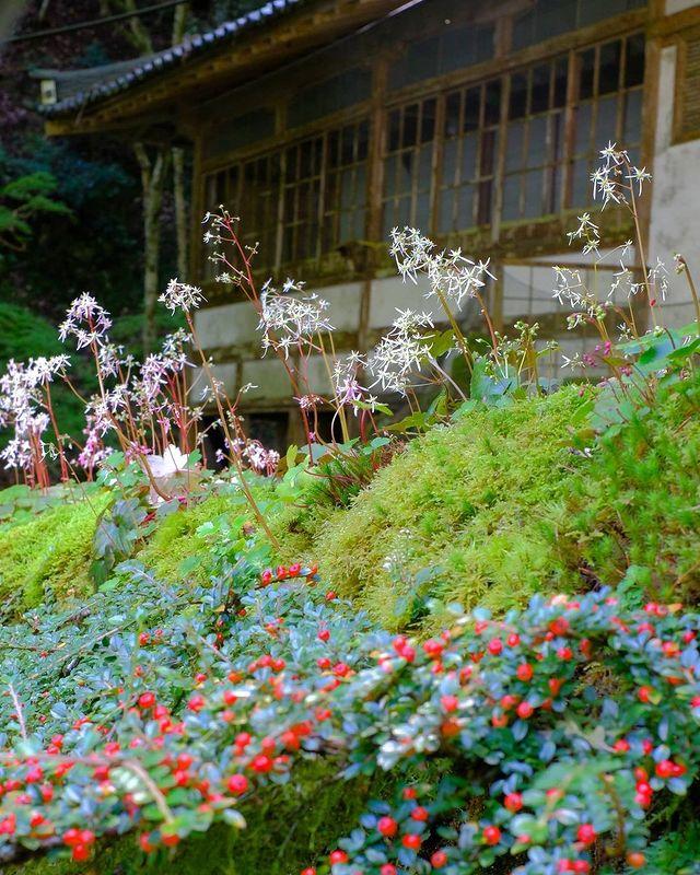 ・ [Kochidani Amida Temple, where rockfoil grass blooms] Rockfoil grass (Saxifrag...