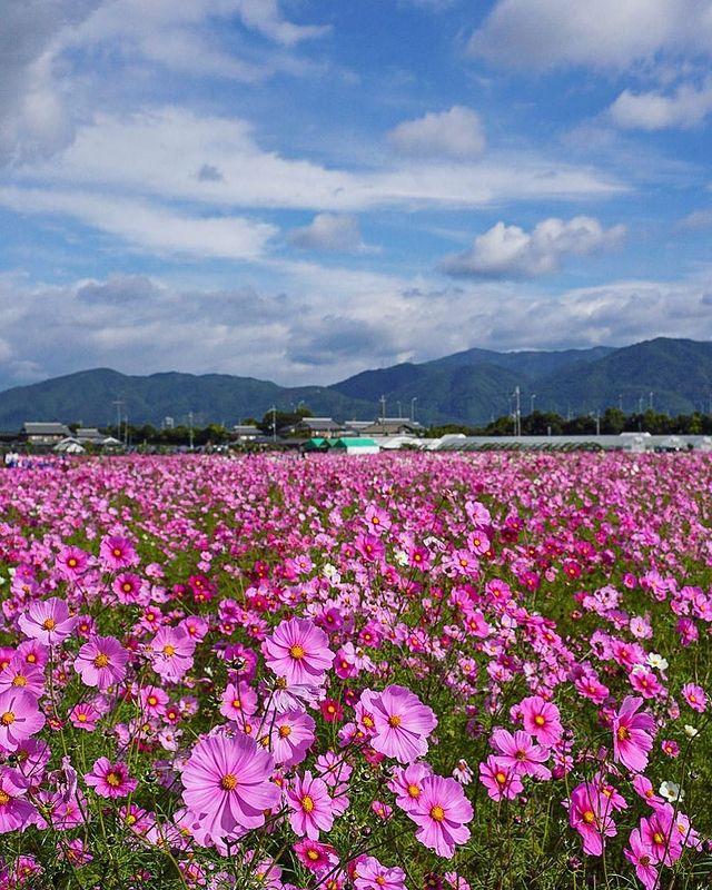 ・ [Kyoto Tamba / Kameoka Dream Cosmos Garden] In Kameoka during the Fall/Autumn ...