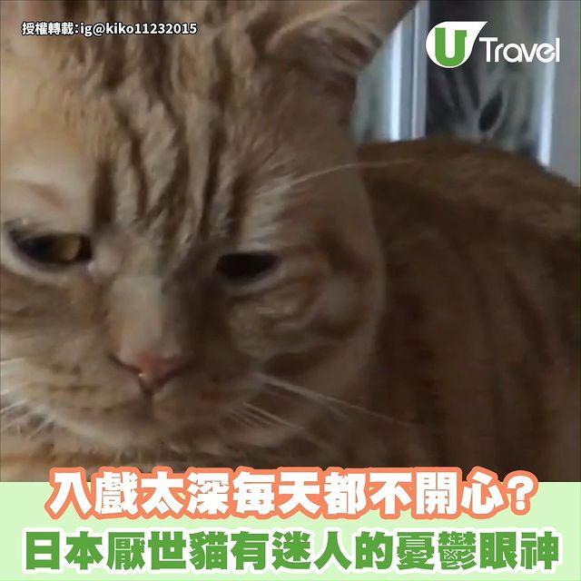 【日本厭世貓有迷人的憂鬱眼神 入戲太深每天都不開心?】 . 日本一隻4歲蘇格蘭立耳貓Alan網上走紅,原因就是貓貓天生的一對迷人憂鬱眼神,讓人覺得牠長時間都不開心...